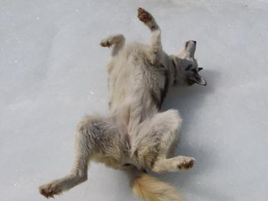 Alaskan husky Ice