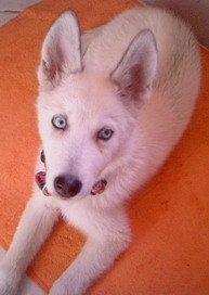 Eleven week old Alaskan husky